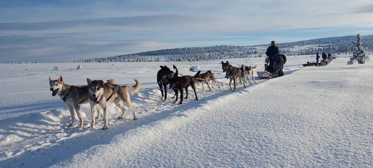 Hundekjøring med Sjusjøen Husky Tours